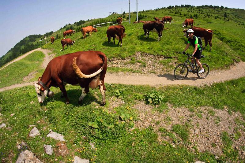 Pass'Portes du soleil  Ride-au-milieu-des-vaches